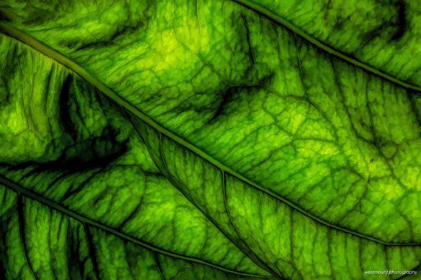 leaf-trees-costa-rica-green-art-photos